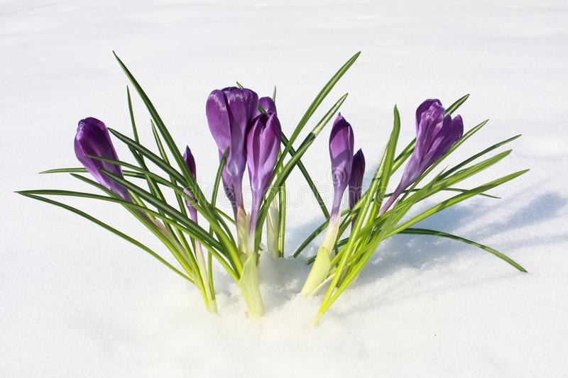 Flowers violet crocus in the snow, spring royalty free stock photos