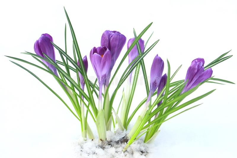 Flowers violet crocus in the snow, spring stock photo
