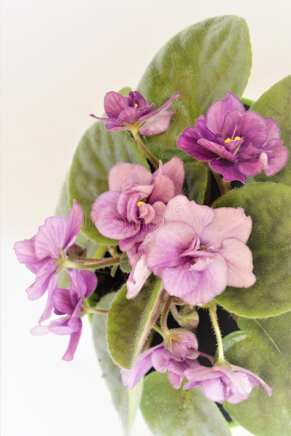 Flowers violets on a white background close-up. stock photo