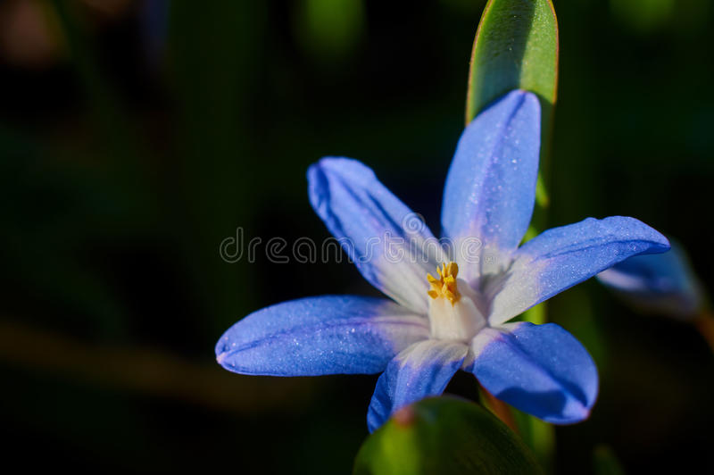 Flowers Viper's bow. royalty free stock photography