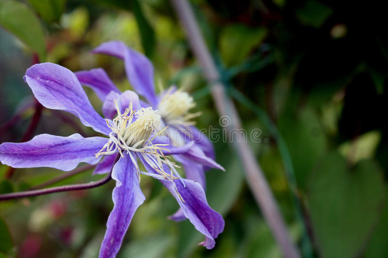Flowers of virgins-bower. Close-up royalty free stock photography