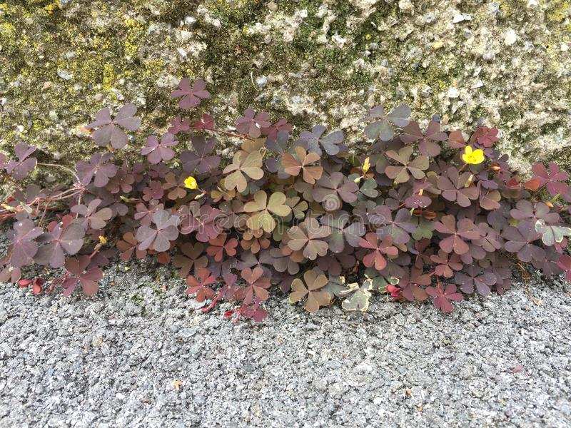 Flowers in the wall and the asphalt. royalty free stock images