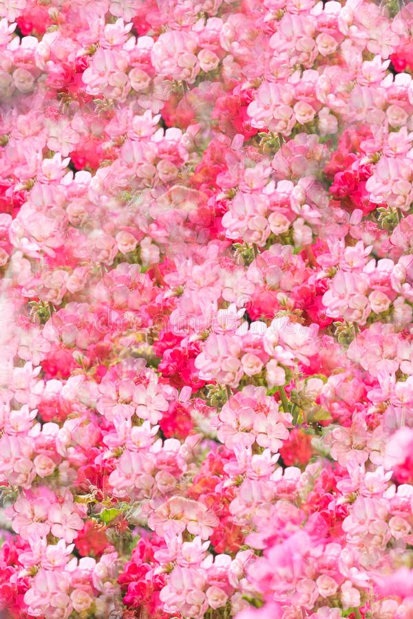 Flowers wall background with amazing pastel pink white roses, Wedding decoration, hand made. Floral, paint. Flowers wall background with amazing pastel pink and royalty free stock photography