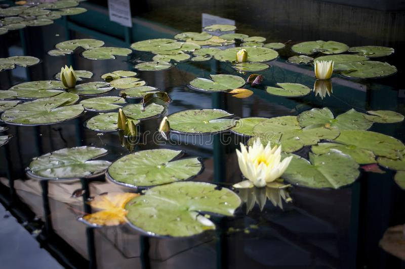 Flowers on water or water lilies stock photo