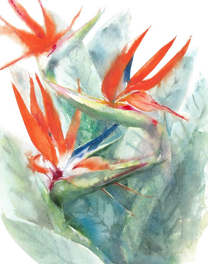 Flowers watercolor bird of paradise tropical flowers isolated on white background painting illustration. Flowers watercolor bird of paradise tropical flowers stock illustration
