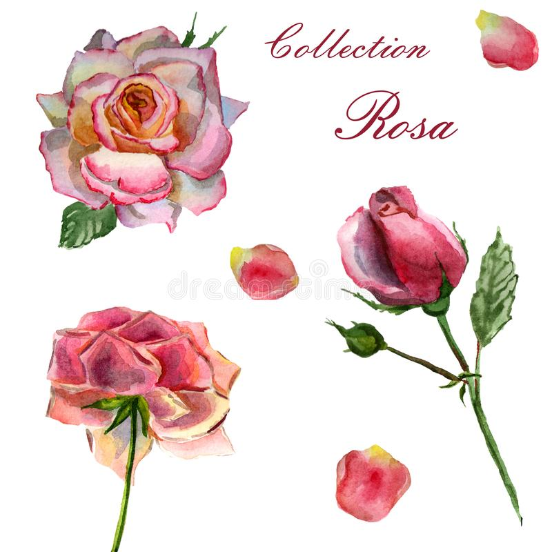 Flowers watercolor illustration. Set of pink roses on a white background. Flowers watercolor illustration. A tender set of pink roses on a white background stock illustration