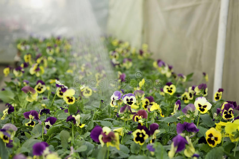 Flowers watering royalty free stock photography