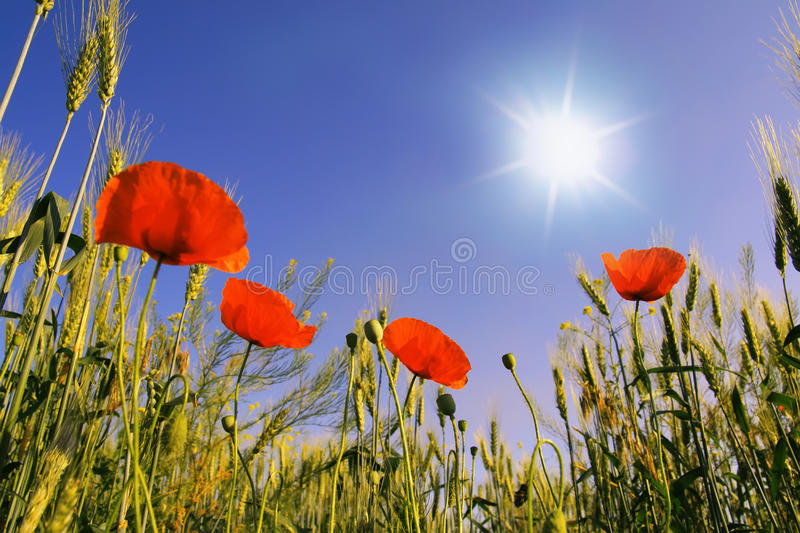 flowers are in a wheat royalty free stock image