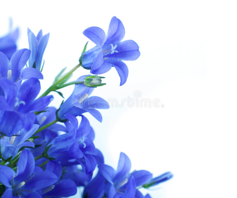 Dark Blue And White Flowers: Flowers On A White Background, Dark Blue Hand Bell Stock