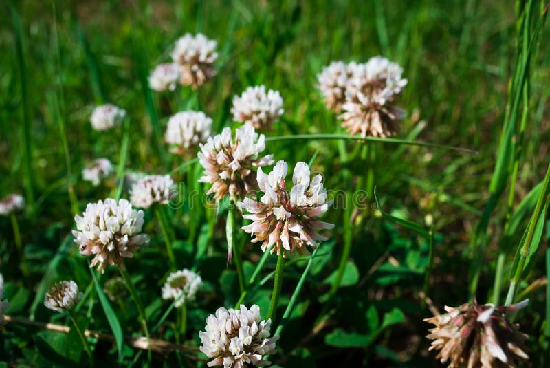 Flowers of white clower Trifolium repens in a lawn.  royalty free stock photo