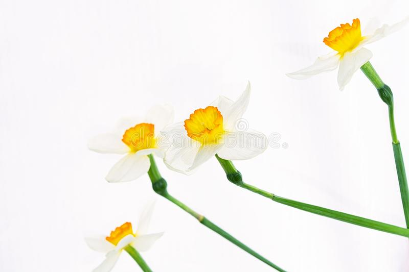 Flowers of white daffodils are randomly arranged on a white background.  stock photos