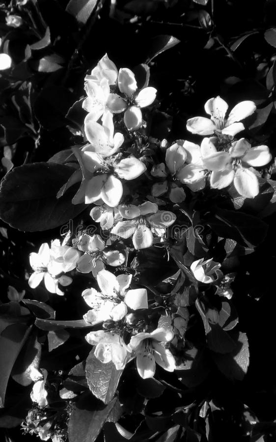 Flowers. White delicate tropical flowers surrounded by black vibrant leaves.The image is in monochrome royalty free stock photography