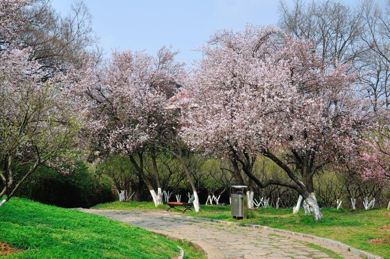 Flowers of wild Apricot Tree stock photo