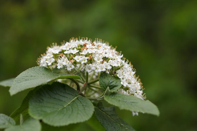 Flowers of a wild Guelder Rose stock images