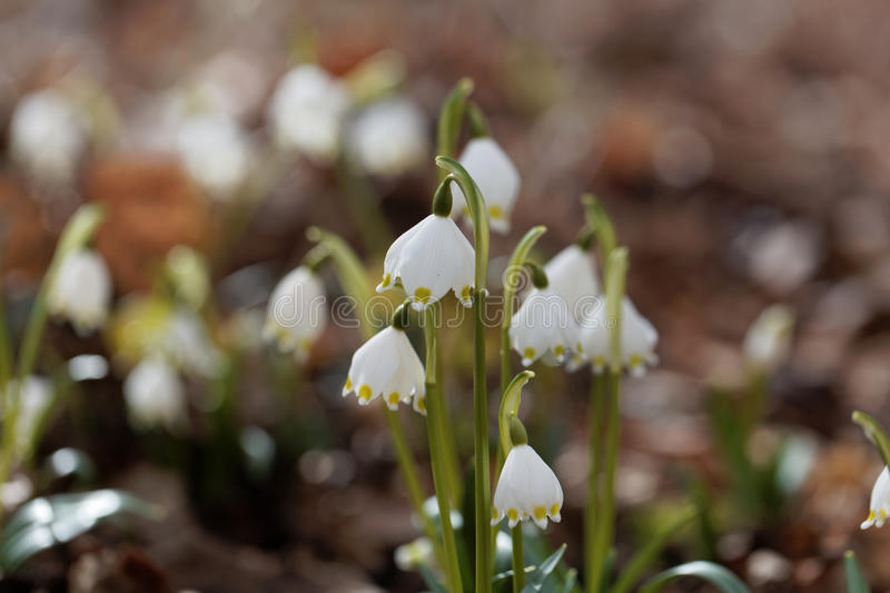 Flowers of wild spring snowflakes royalty free stock photography