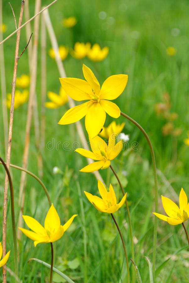 Download Flowers of wild tulips stock photo. Image of bloom, year - 24542480