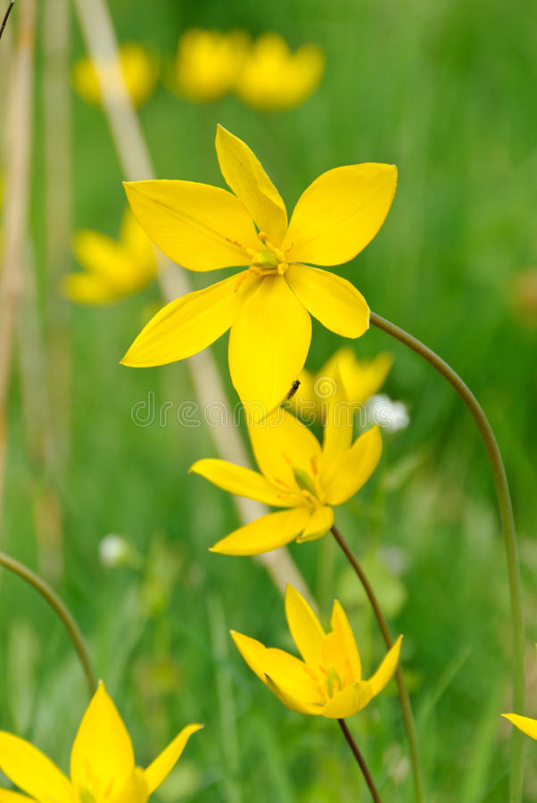 Download Flowers of wild tulips stock photo. Image of sylvestris - 24542520