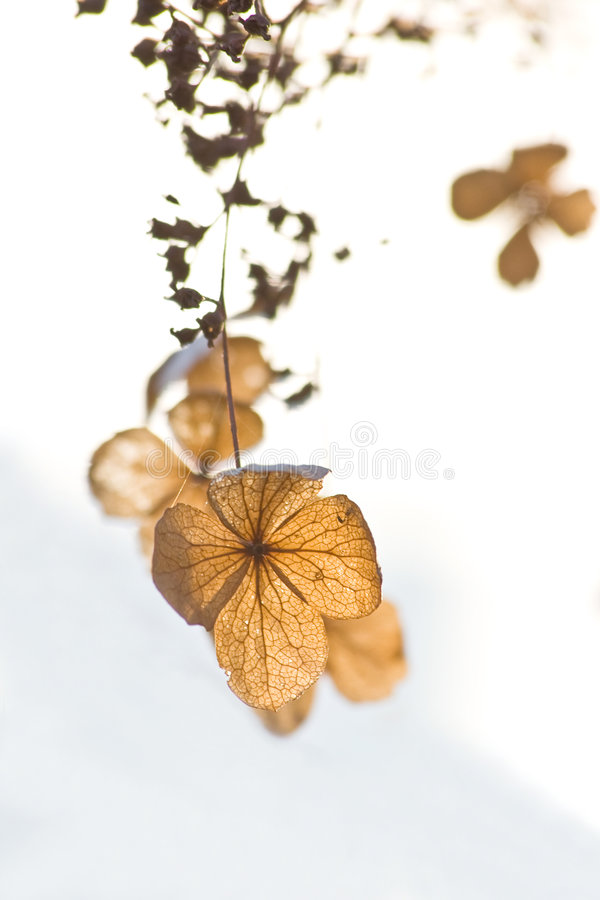 Flowers in winter on white background. Dried flowers in wintersun isolated on a white background royalty free stock photography
