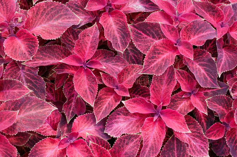Flowers Wizard Velvet Red Coleus. Top view royalty free stock images