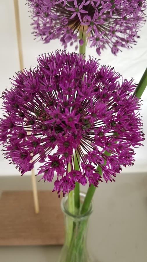 Prize winning purple flowers stock image