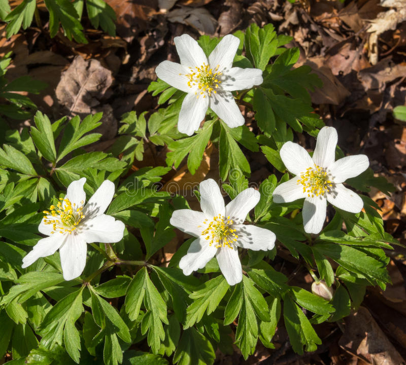Flowers of the wood anemone in spring stock photography