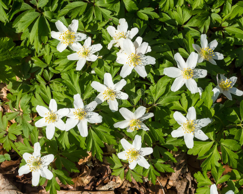 Flowers of the wood anemone in spring royalty free stock photos