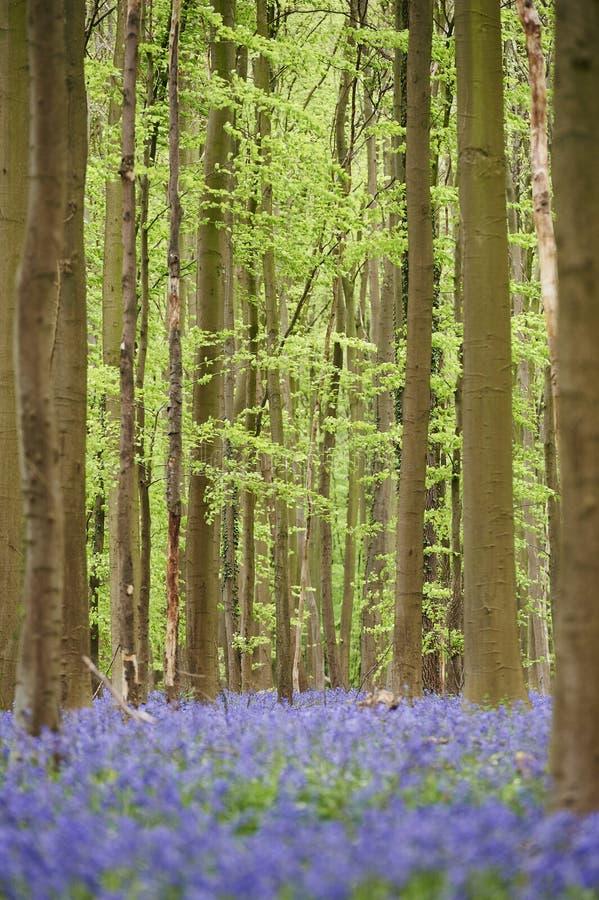 Flowers in woods near Hal, Belgium royalty free stock image