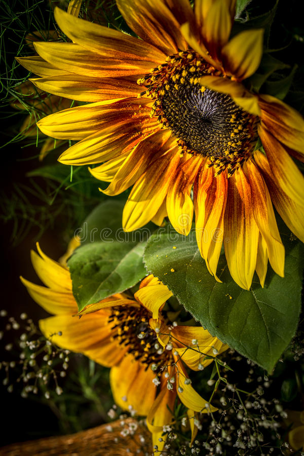Free Flowers Yellow And Red Sunflower Stock Photography - 57312512