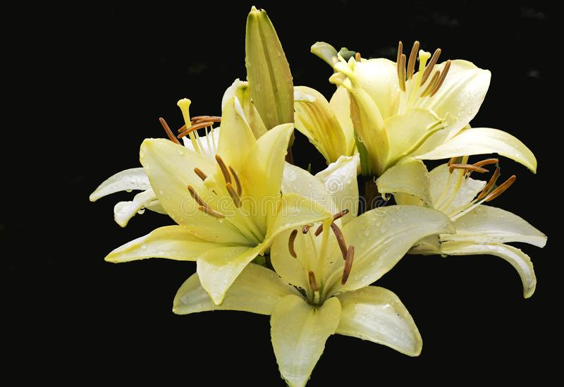 The flowers are yellow Asian lilies on a black background. stock images