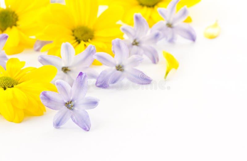 Flowers yellow chrysanthemums and blue hyacinth stock photo