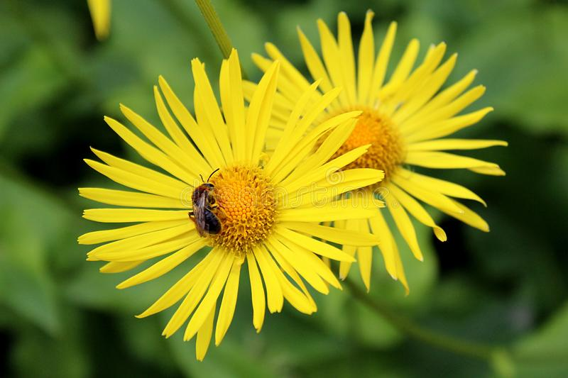 Flowers of yellow daisy with bee collecting nectar. Bee, flower, pollinating, beautiful, yellow, camomile, summer, background, natural, garden, plant, close stock photo