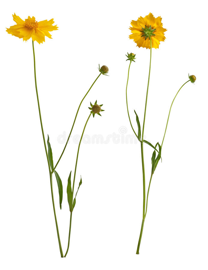 Download Flowers Of Yellow Daisy-gerbera Stock Photo - Image: 18163262
