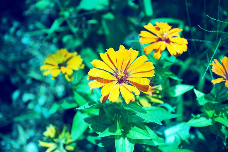 Flowers in yellow hues in your garden royalty free stock photography