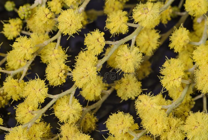 Flowers of yellow mimosa closeup royalty free stock photo