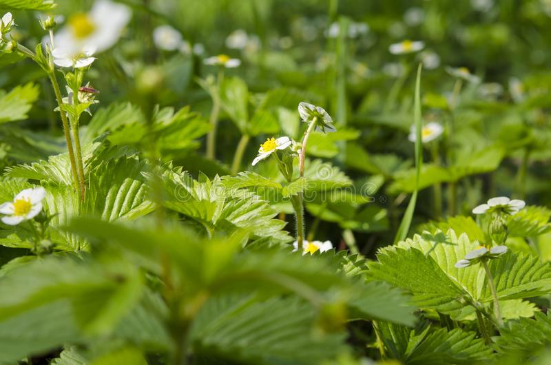 Flowers of a young spring strawberry on a background of green leaves under beams of the sun royalty free stock photos