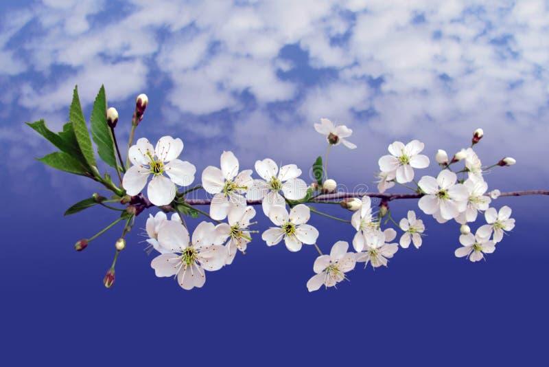 Flowerses brancos às cerejas no ramo fotografia de stock royalty free
