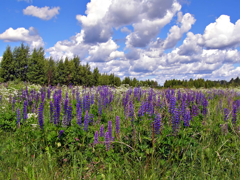 Flowerses lupines auf dem Gebiet stockbild