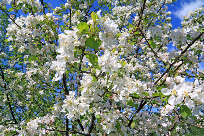Flowerses to aple trees. White flowerses to aple trees royalty free stock photography