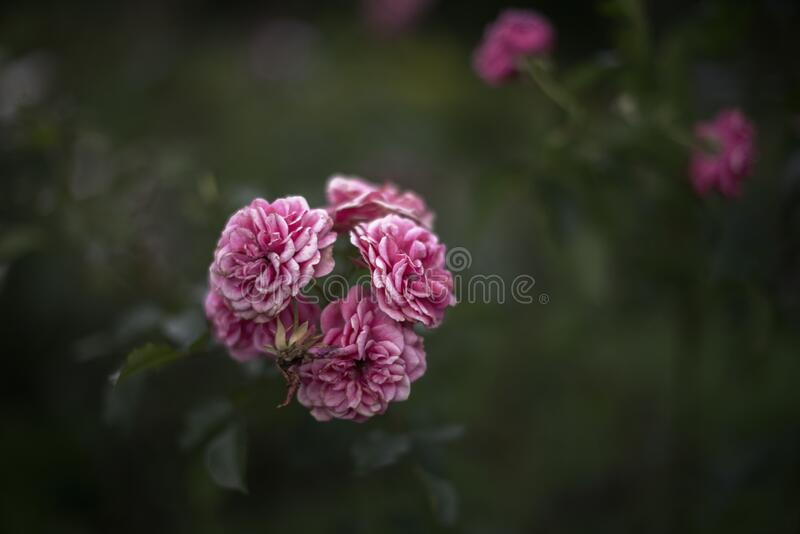 Pink rose blooms in the garden. Flowersin summer. Pink rose blooms in the garden stock photography