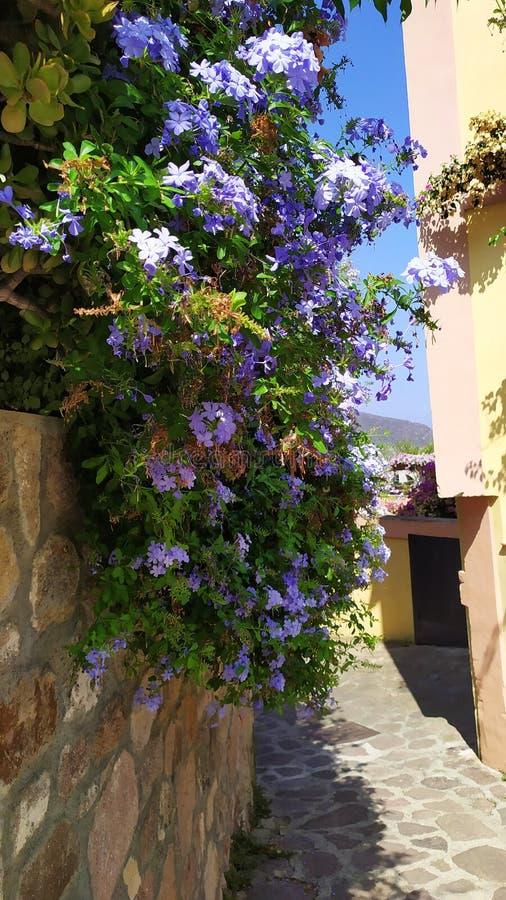 A flowery avenue in Capraia Island stock photos