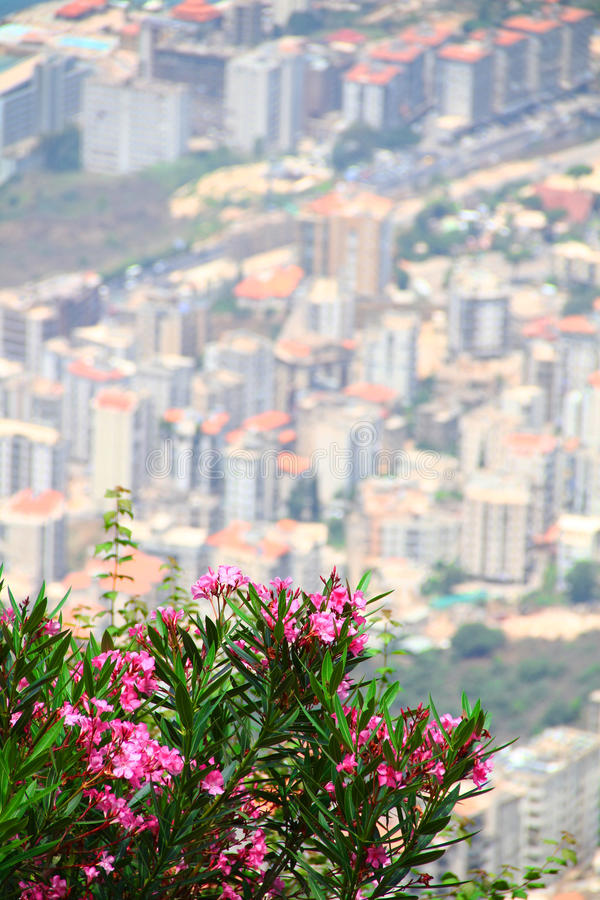 Flowery city. Bunch of Pink flowers above the city of beirut ,lebanon royalty free stock images