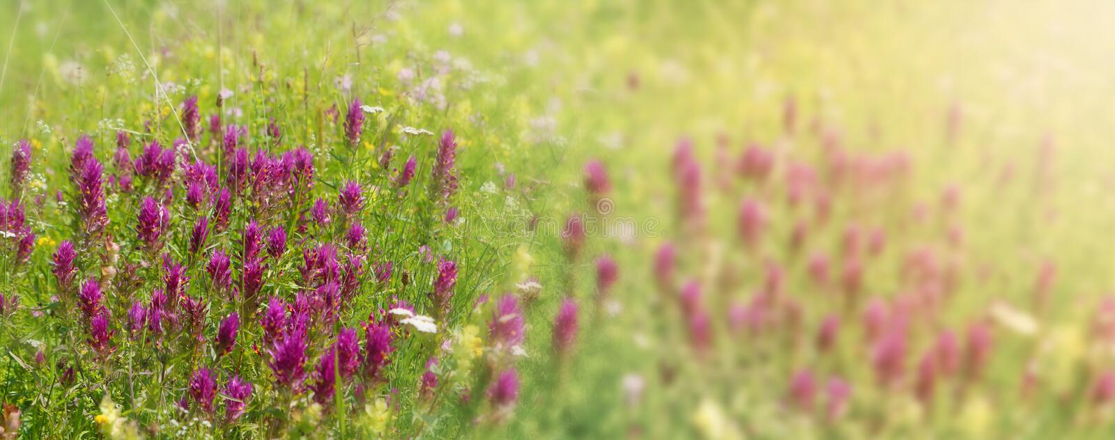 Flowery meadow banner with purple patches of field cow-wheat Melampyrum arvense. As backgroundn stock photography