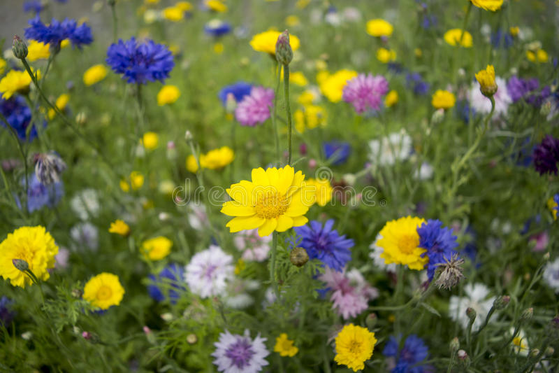 Flowery meadow. Colorful with shallow depth of field stock image