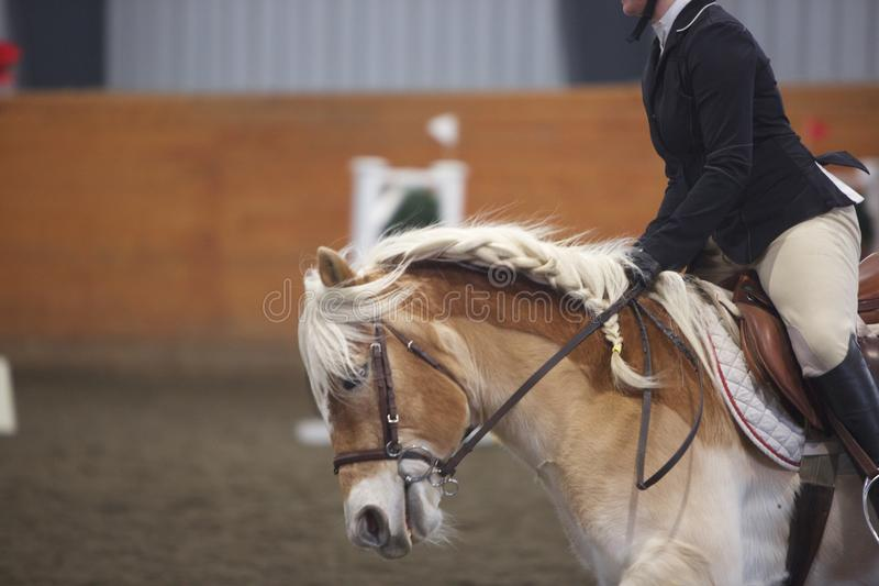 A Flowing, Braided Mane. Partial side view of a light brown horse with English rider shown from neck down. Horse has a flowing and loosely-braided, blonde mane royalty free stock photo