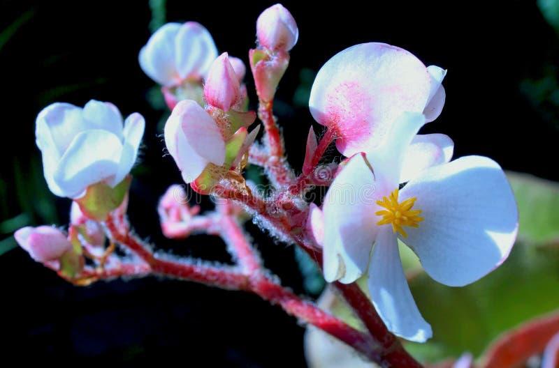 Flowwers blancos de la begonia fotos de archivo libres de regalías