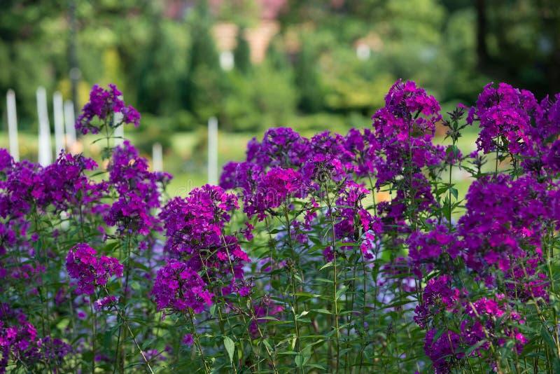 Flox cor-de-rosa das flores fotos de stock