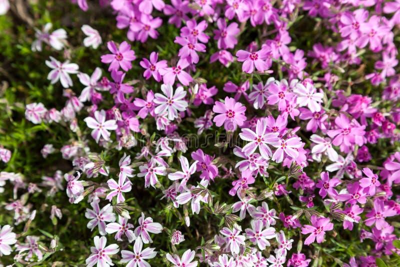 Flox de musgo cor-de-rosa colorido como o fundo fotos de stock royalty free