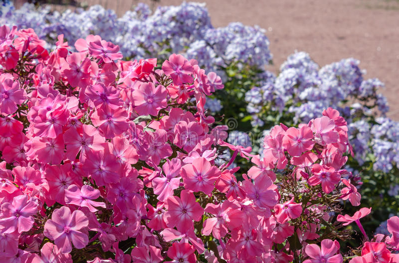 Flox in de tuin royalty-vrije stock afbeeldingen