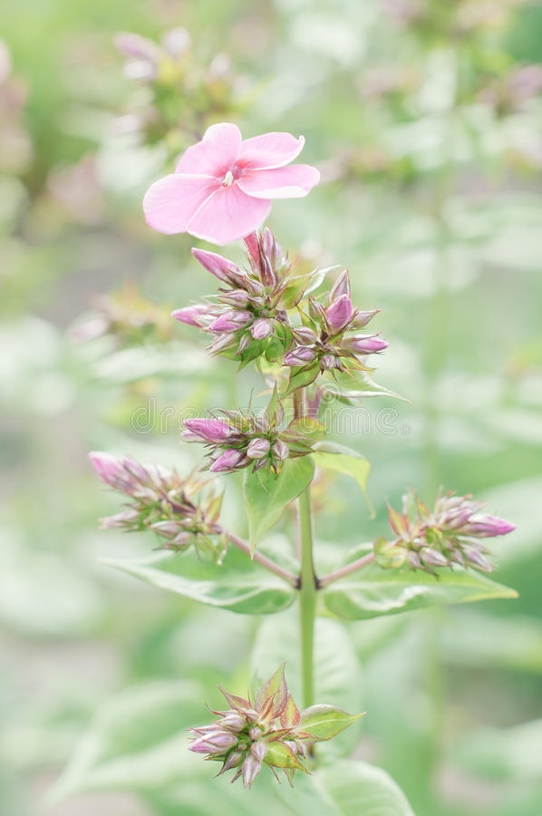 Flox dei fiori contro fondo verde vago fotografie stock