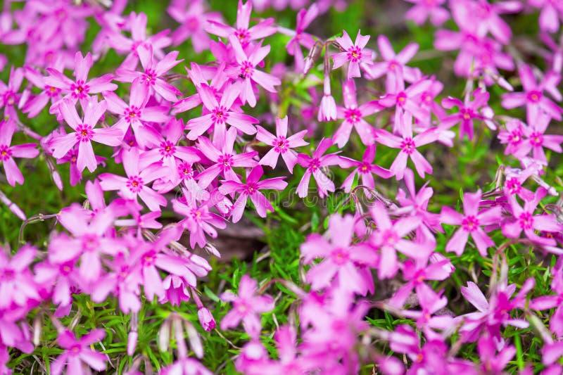Flox di fioritura di rosa della copertura al suolo immagine stock libera da diritti